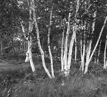 White Birch Trees by Brian Chase