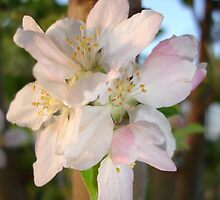 Beautiful Apple Blossom Cluster by taiche