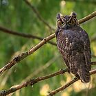 Great Horned Owl by BarryHetschko