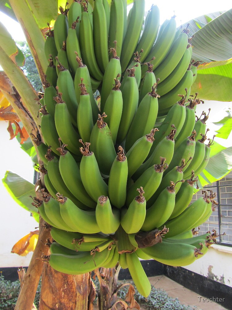Bananas growing in Zambia, Africa by Teuchter
