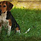 Lonely Beagle by Ginger  Barritt