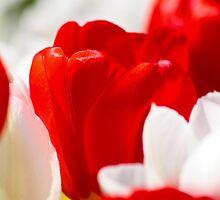 tulips by Dmitry Klevansky