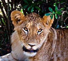 Lioness :: Kenya Africa by Clinton Hadenham