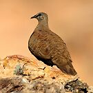 White-quilled Rock Pigeon - Keep River National Park by Alwyn Simple