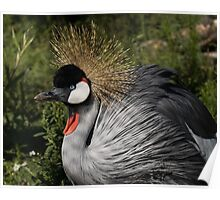 Portrait of an African Grey Crowned Crane Poster