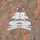 The White Underwing Moth  by DigitallyStill