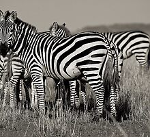 Zebras :: Masai Mara by Clinton Hadenham