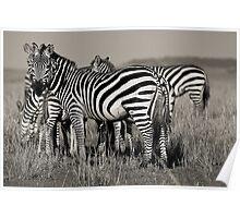 Zebras :: Masai Mara Poster