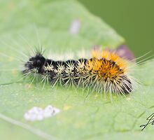 Impressed Dagger Moth Caterpillar  by DigitallyStill