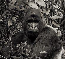 Silverback Gorilla :: Congo by Clinton Hadenham