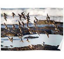 Shorebird Flight Poster