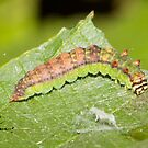Arched Hooktip Moth Caterpillar by DigitallyStill