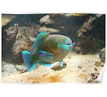 Bi-Colour Parrot Fish Poster