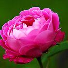 Baronne Prevost Rose by Jennifer Lyn King