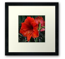 Ruby Red Amaryllis  Framed Print