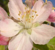 Apple Blossom Sticker