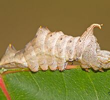 The Red-washed Prominent Moth Caterpillar or Rusty Prominent  by DigitallyStill