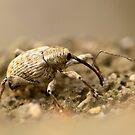 snout beetle by davvi