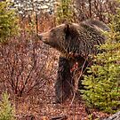 Grizzly Bear by JamesA1