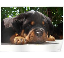 Cute Close Up Of A Sleepy Rottweiler Puppy Poster