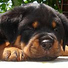 Cute Close Up Of A Sleepy Rottweiler Puppy by taiche