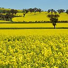 Canola Fields On The Road To Stockinbingal NSW Australia by Bev Woodman