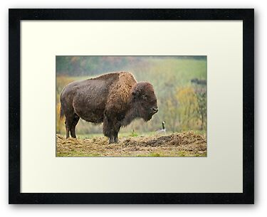 Bison In Rain by Michael Cummings