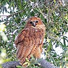 A Pels Fishing owl by jozi1