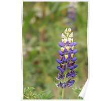 Lupine Poster