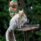 Grey Squirrel by Caroline Anderson
