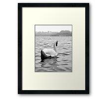 Elegant swan on water Framed Print