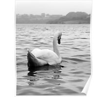 Elegant swan on water Poster