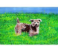 Glen Of Imaal Terrier Dog Portrait Photographic Print
