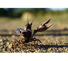 Combative Crawfish Photographic Print