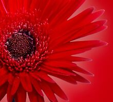 Red Painted Daisy by Roger Otto