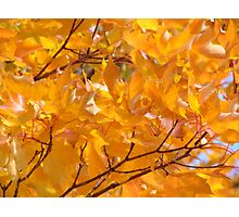 Golden Orange Autumn Leaves Tree Art Prints Photographic Print