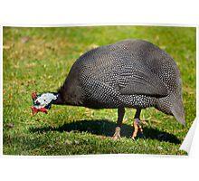 Guinea Fowl 1 Poster