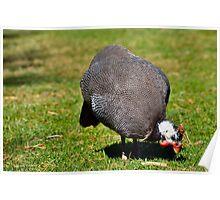 Guinea Fowl 2 Poster