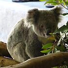 KOALA by Mitch  McCourt