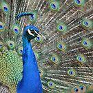 Peacock 2 by Bami