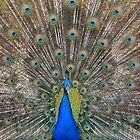 Peacock 3 by Bami