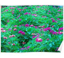 Lantana Flowers Poster