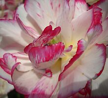Tulip Macro # 7 by Vitta