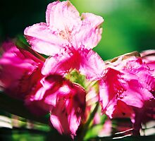 Rhododendron II. by Zuzana Vajdova