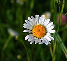 Single flower by AhaC