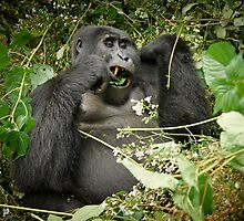 eating mountain gorilla, Uganda by travel4pictures