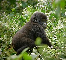 baby mountain gorilla, Bwindi, Uganda by travel4pictures