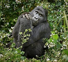 mountain gorilla, Uganda by travel4pictures
