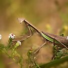 Praying Mantis by Beth Mason