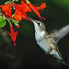 Hummingbird on Salvia by Janice Carter